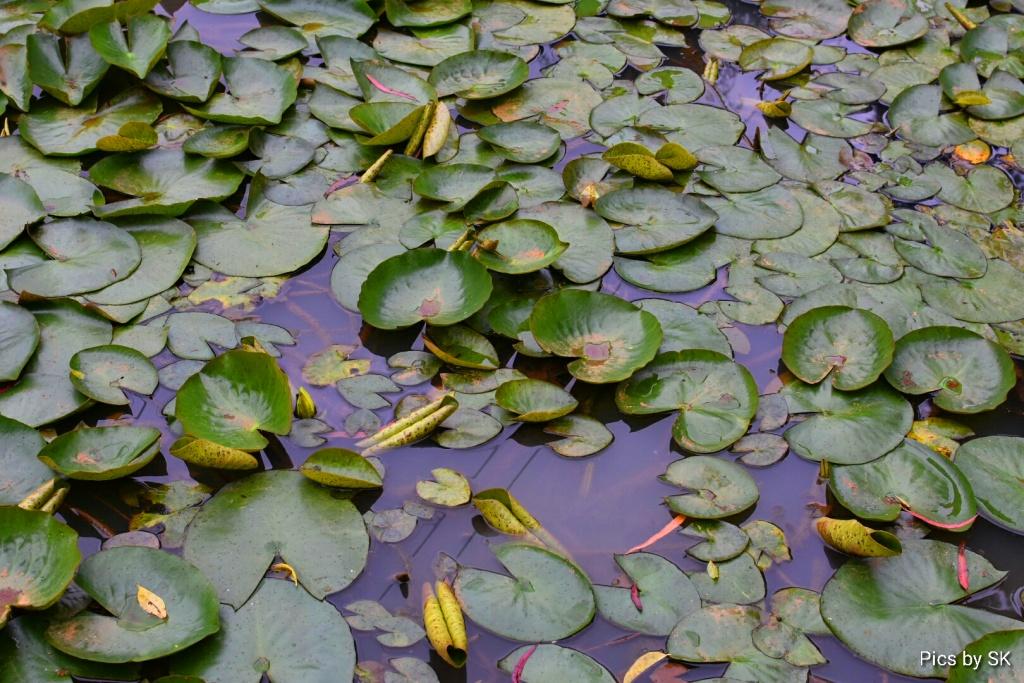 lotuscloseup