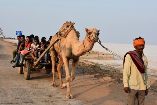 Camel Ride, Rann of Kutch
