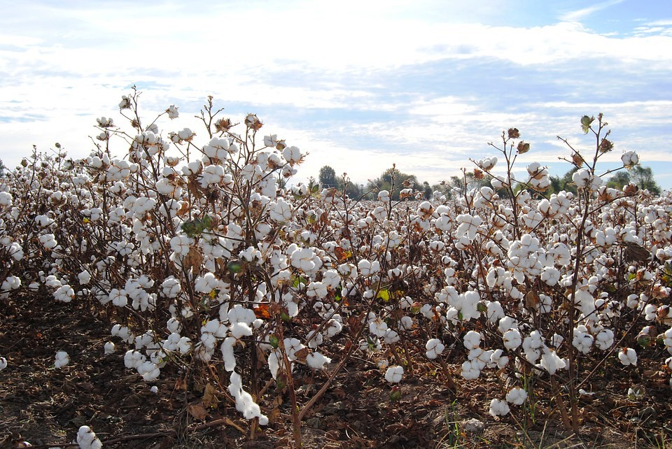 cotton-fields.jpg