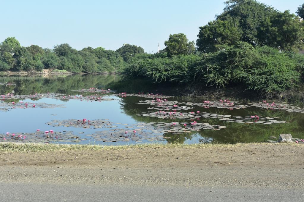 Lotus Fields