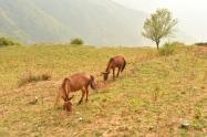 Mules galloping around