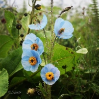 Blue Poppy