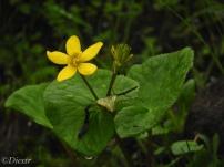 Himalayan thimbleweed(रतनजोत))