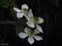 Four Petal Amemone