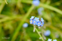 Hooked stickseed, Forget Me Not